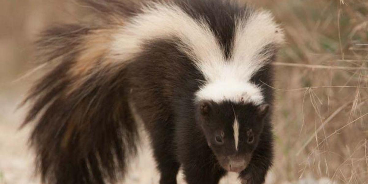 Rabid skunk found in Prince George County