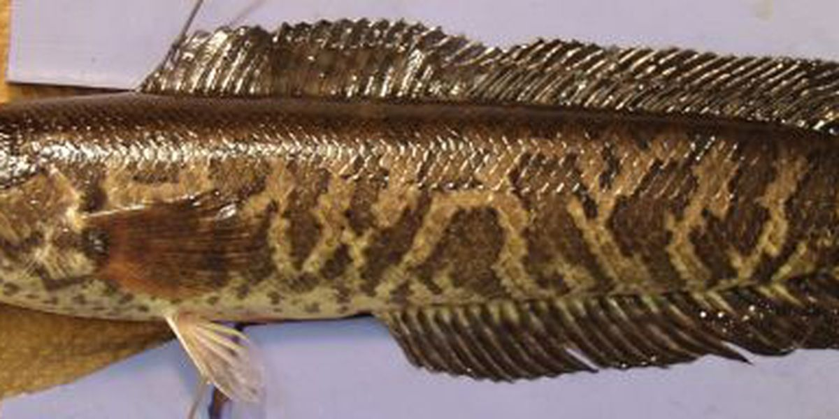 Northern snakehead, an invasive fish, found in Shenandoah River drainage