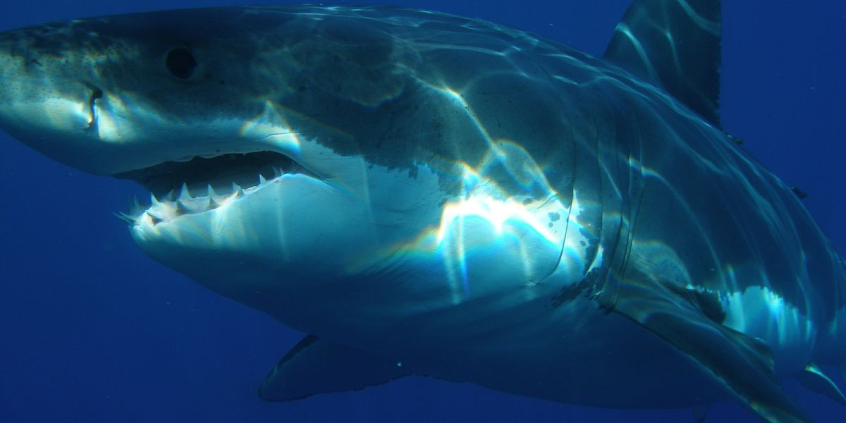 Where do sharks like to go? Cape Cod and the Outer Banks