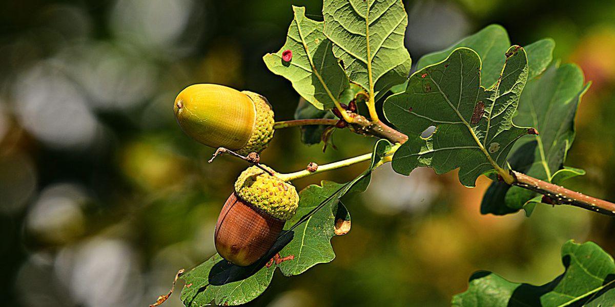 Virginia forestry officials seek acorn donations
