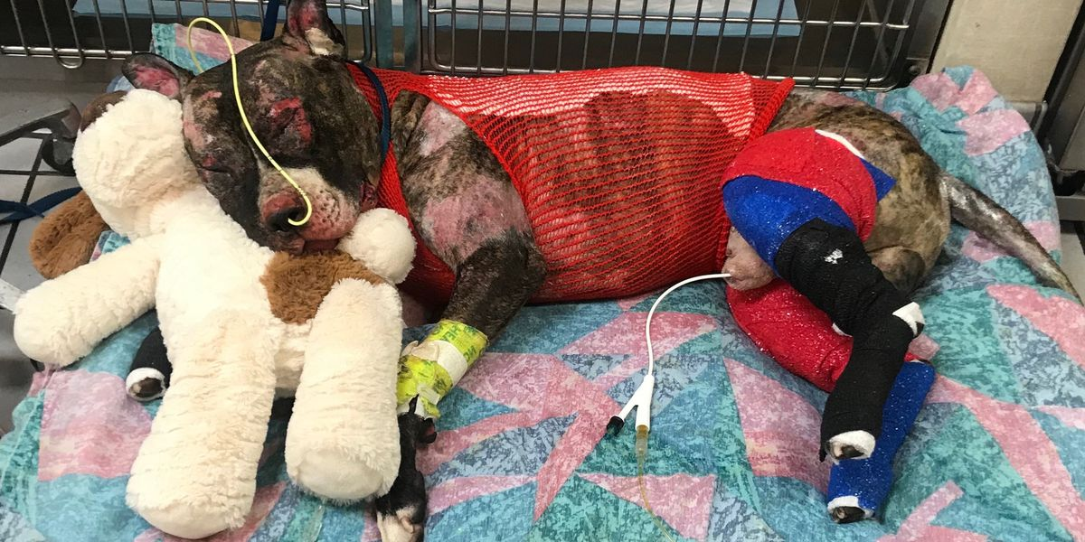 Suspect charged with animal cruelty for setting dog, Tommie, on fire