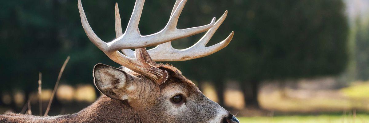 'Zombie deer disease' has impacted wildlife in 24 states