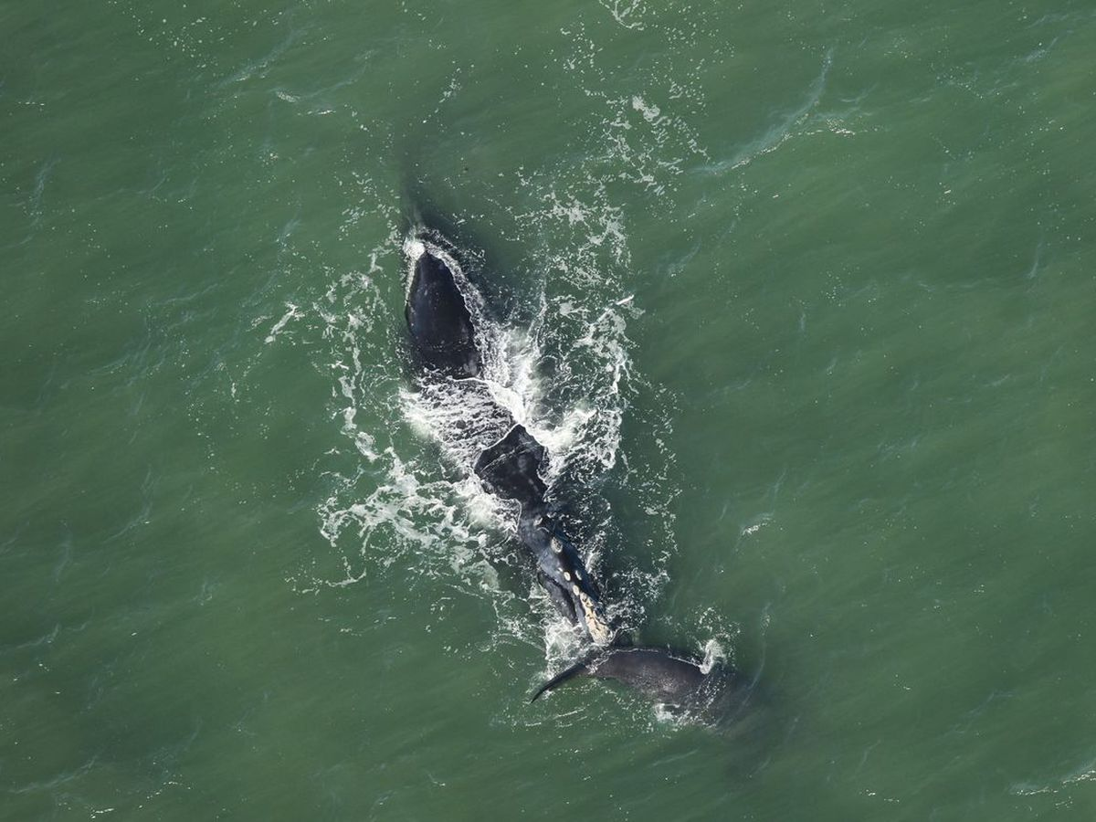 Endangered right whales spotted off the coast of Virginia Beach