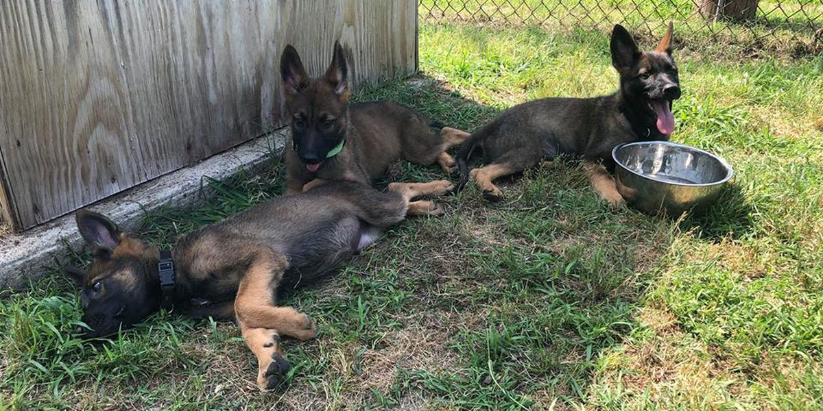 They tried their best: Puppies given to RPD didn't qualify as K-9 officers; adopted out instead
