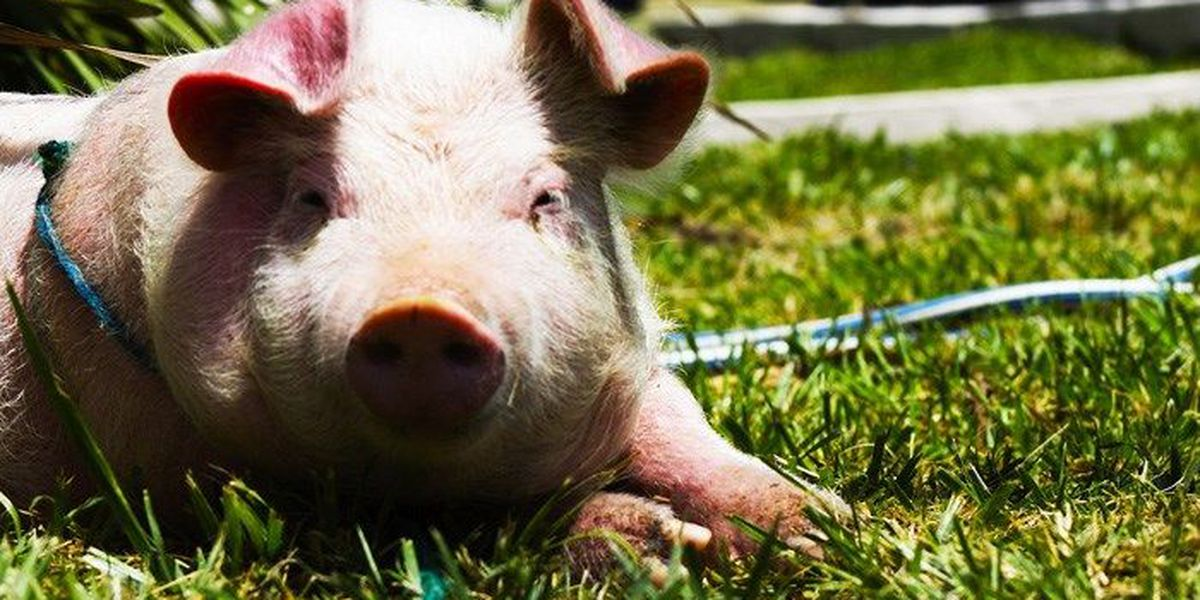 Woman fights to keep support pig who helps her with depression