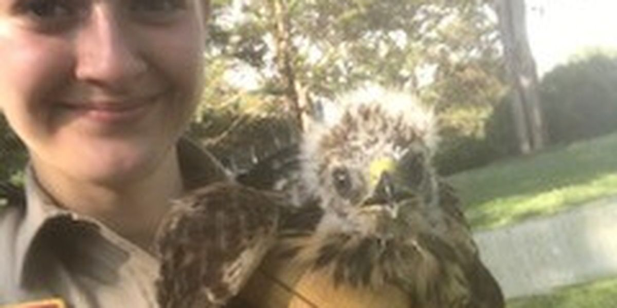 Baby hawks saved after tree falls, nest destroyed