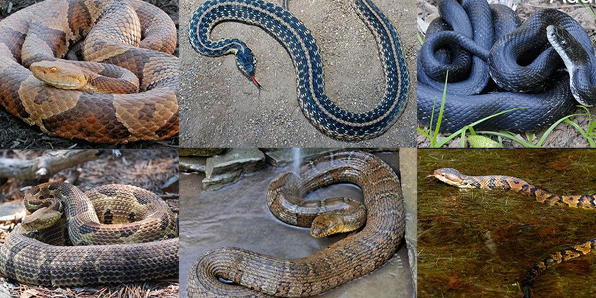 Snakes in Virginia: Meet 6 you'll most likely see this season
