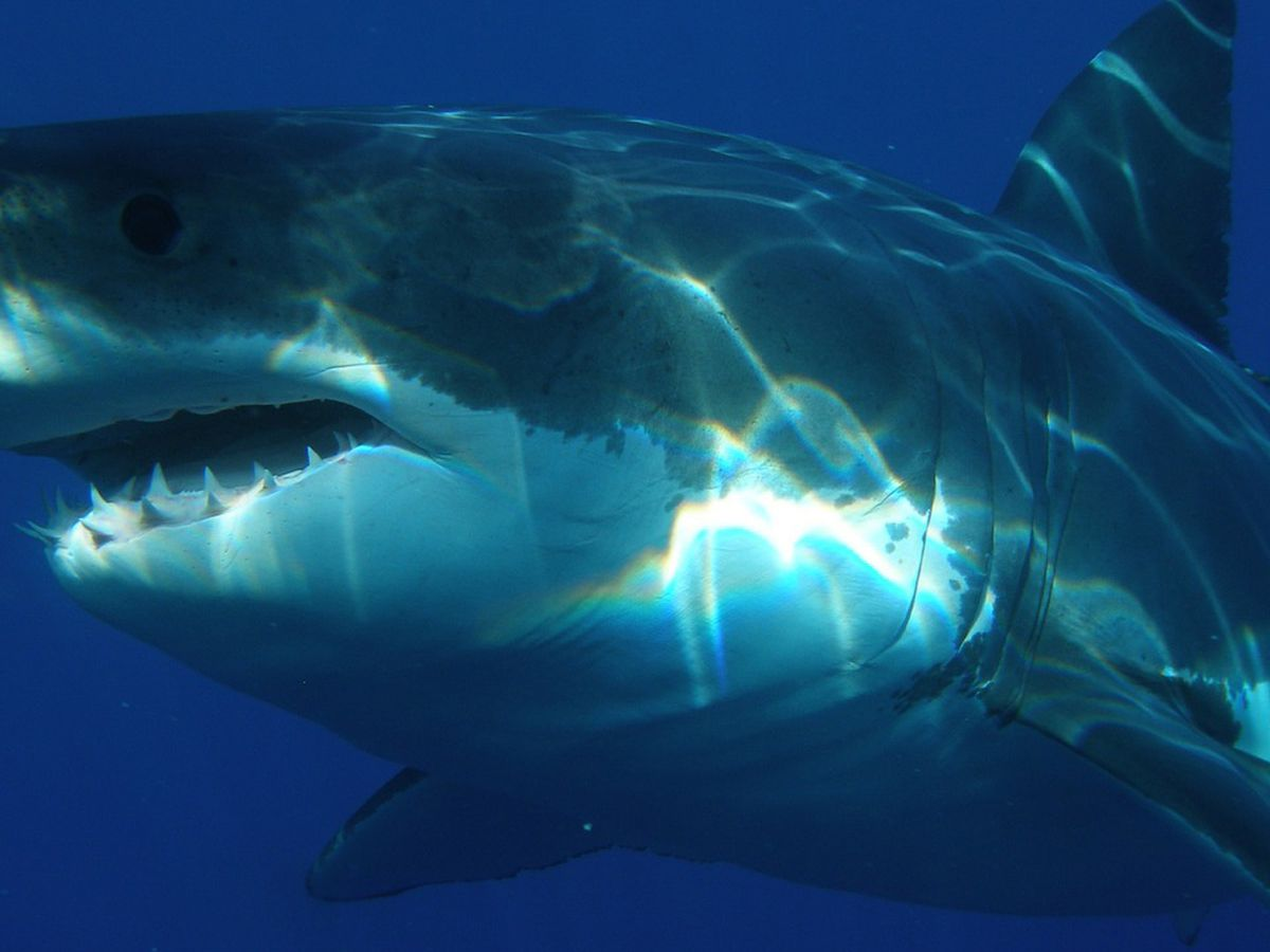 3 great white sharks ping off Outer Banks coast this month