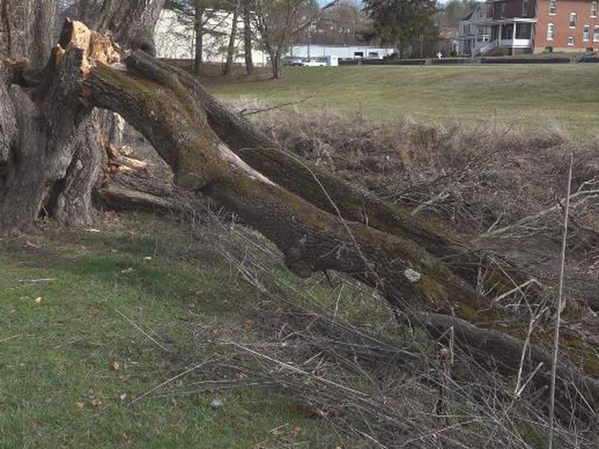 High winds destroy Virginia's largest, tallest corkscrew willow tree