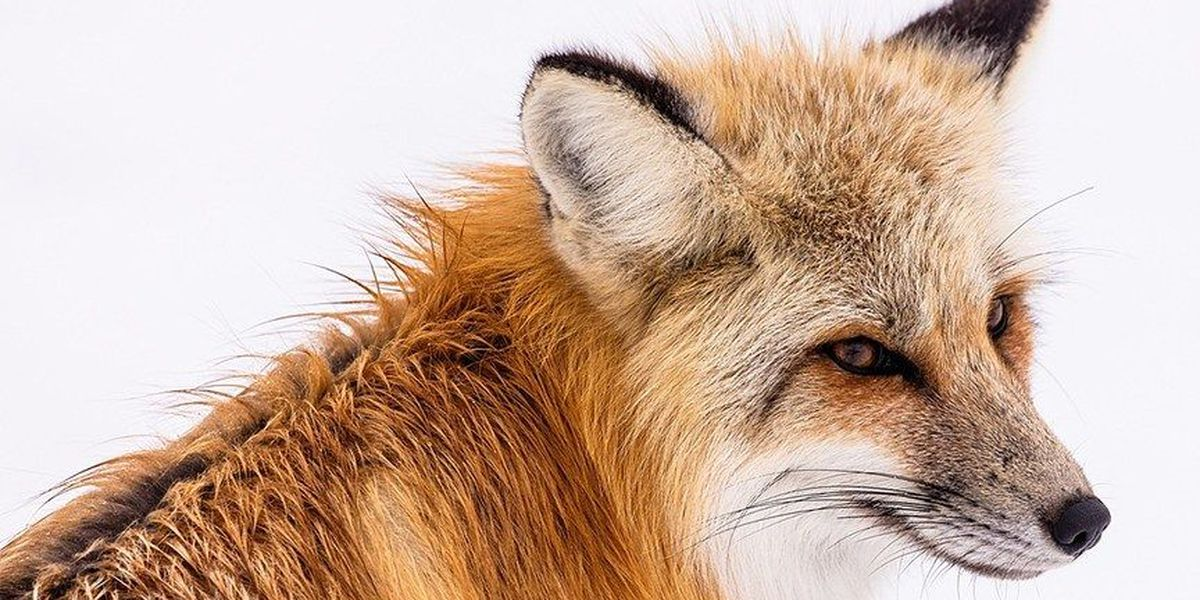Fox tests positive for rabies in Henrico
