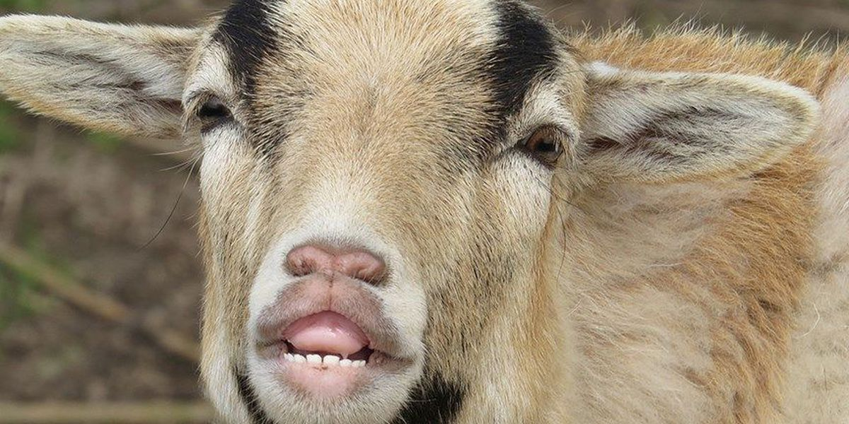 Goat yoga is coming to The Diamond