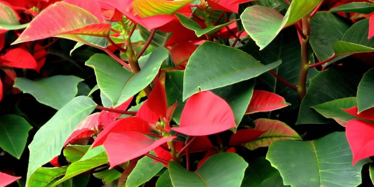 Henrico students selling holiday plants for school fundraiser