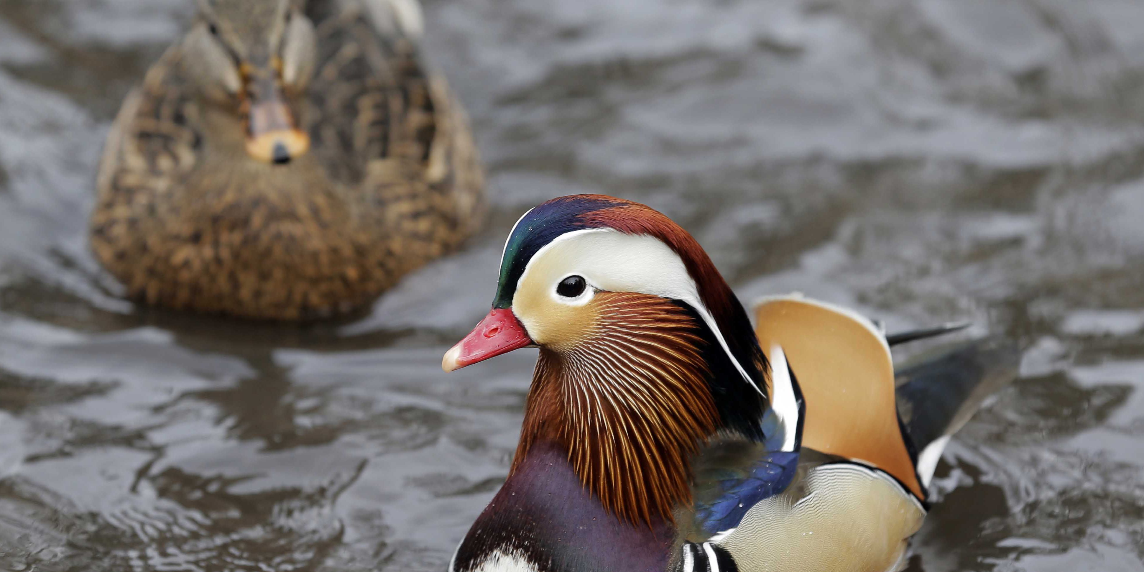 Mandarin duck in Central Park becomes social media star