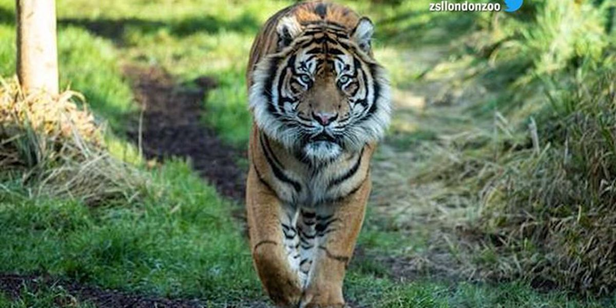 Tiger mauled to death by potential mate at London Zoo