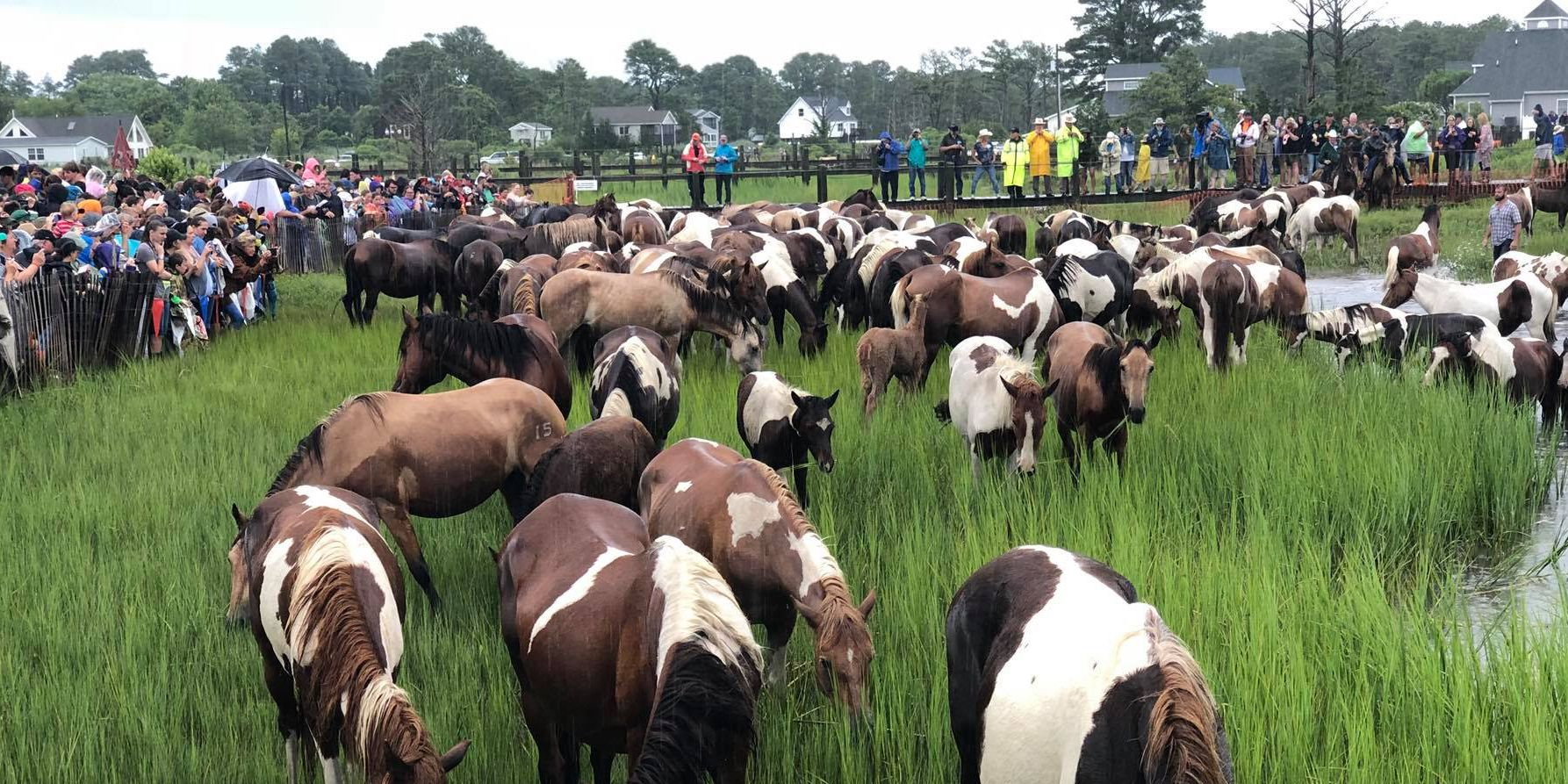 Virginia 'swamp cancer' prompts concern for NC wild horses