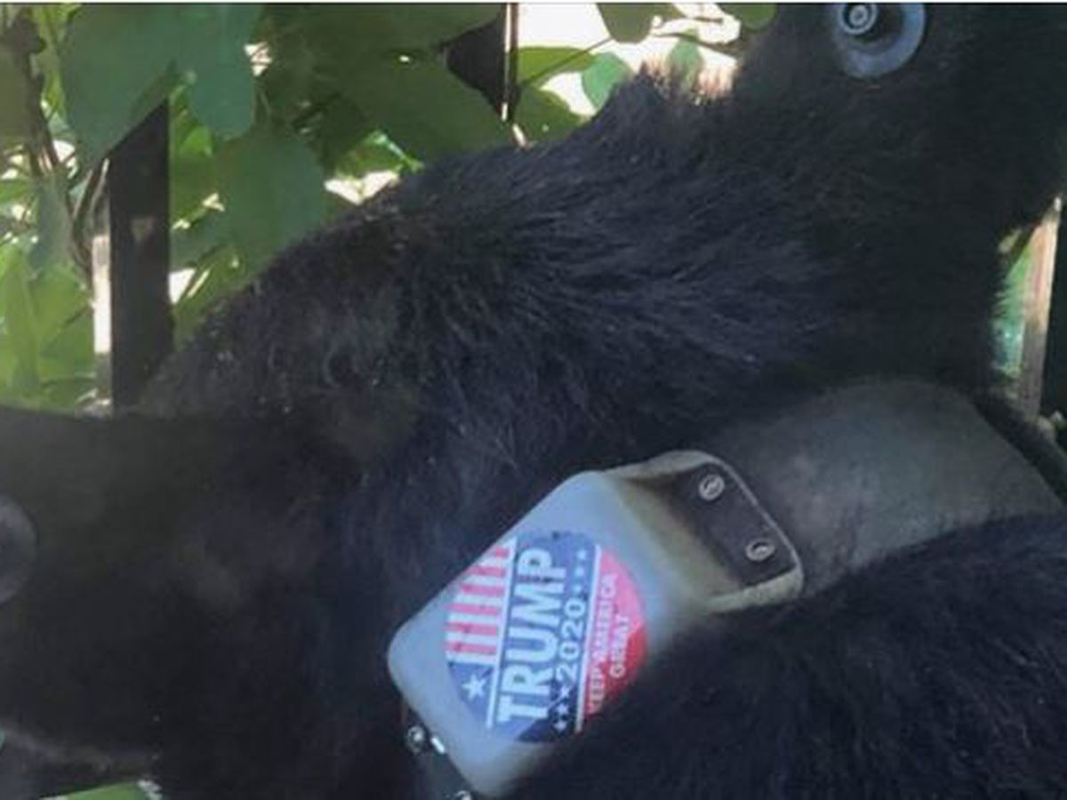 'Bears are NOT Billboards!' Group offers $5,000 reward after bear found in N.C. with 'Trump 2020' sticker on collar