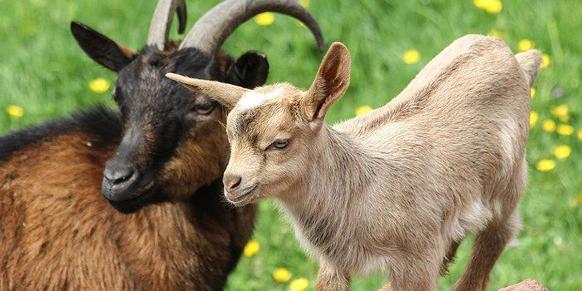 University of Richmond bringing in goats to clear invasive species