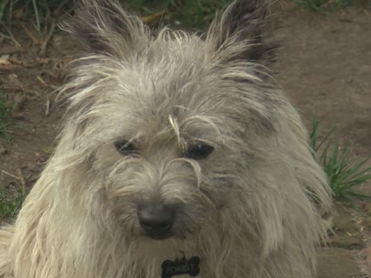 Coyote attacks dog in Richmond, owner assists in escape