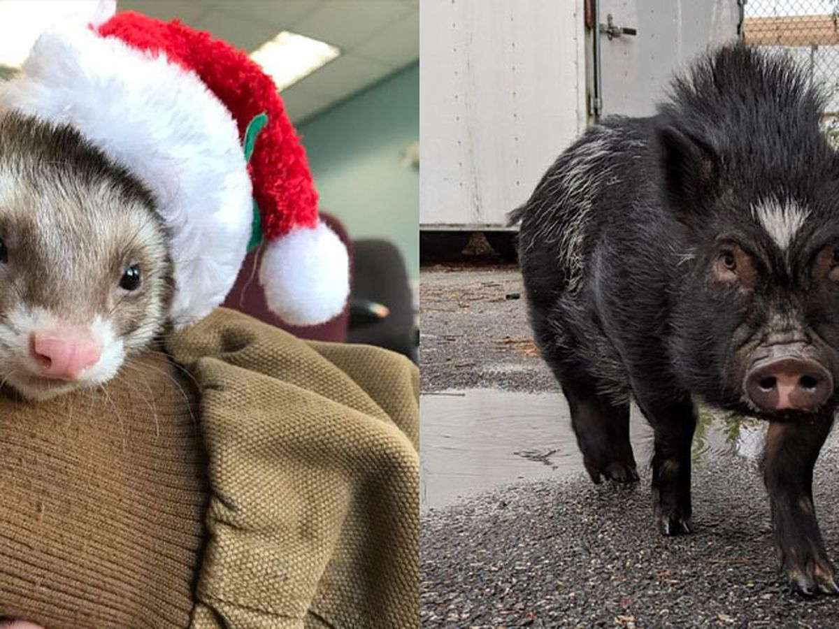 Pot-bellied pig, ferret available for adoption at RACC