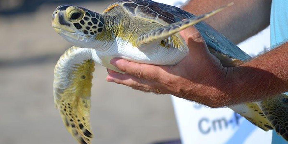 9 sea turtles to be released Wednesday in Outer Banks