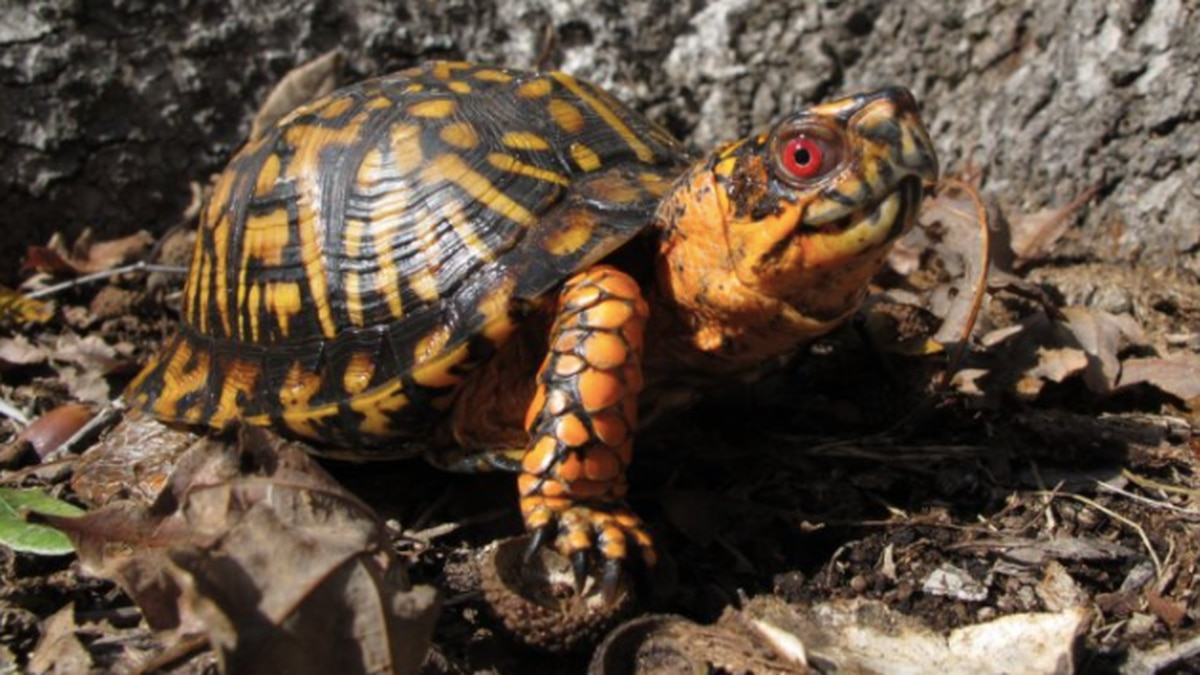 Box turtle ban: New proposed regulations would restrict keeping of native reptiles and amphibians