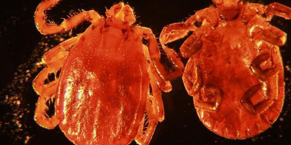 A new tick plus a new disease equals a double threat to Virginia cattle