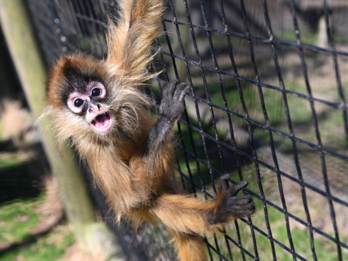 Dandi, Metro Richmond's endangered spider monkey, celebrates 1st birthday