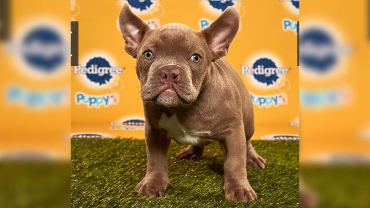 Chesterfield dog debuts in Puppy Bowl