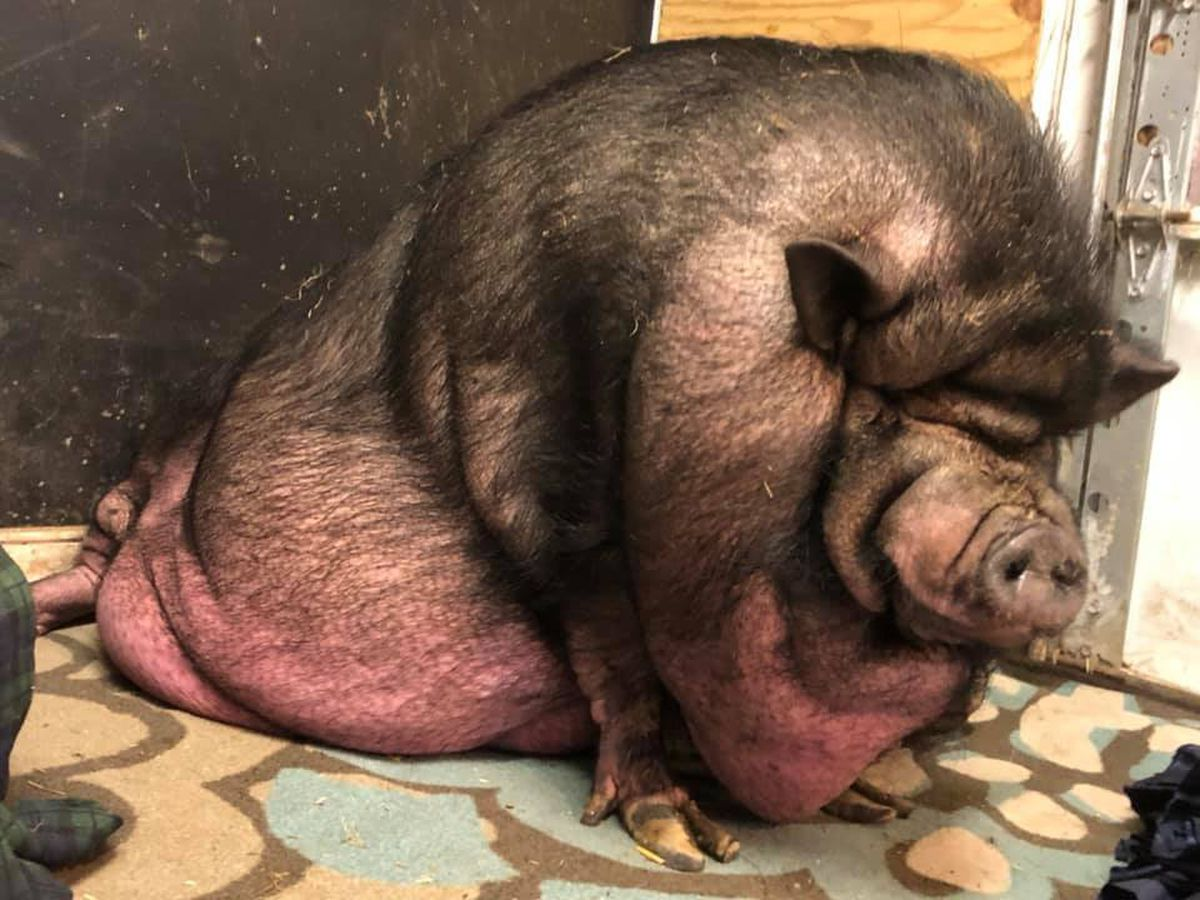 500-pound blind pig named Oscar relocates to Chesterfield animal rescue