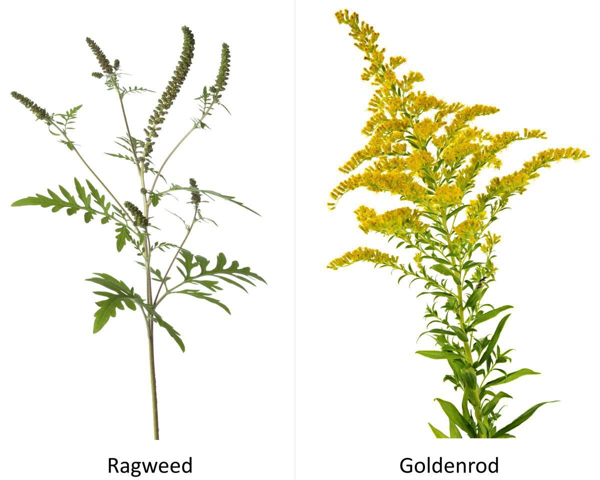 Image result for ragweed
