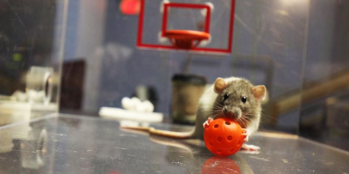 Rats play basketball at Science Museum to predict NCAA Tournament winner