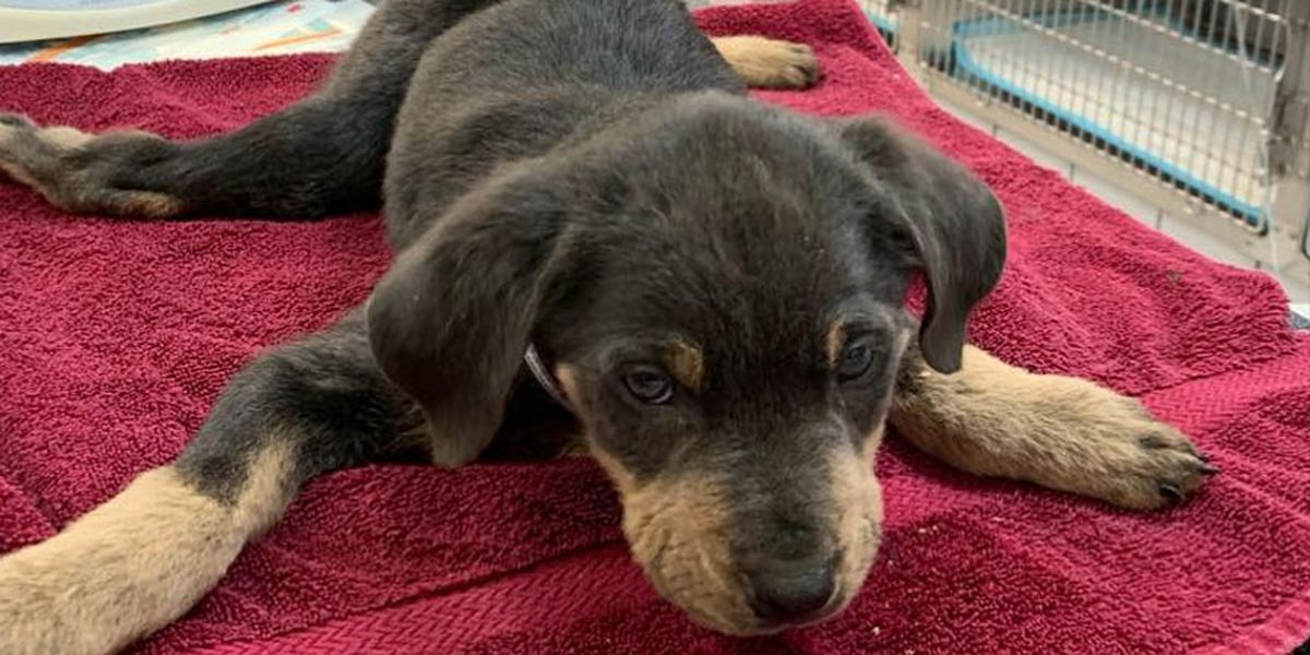 Good Vibes Needed: RACC caring for puppy unable to use his legs