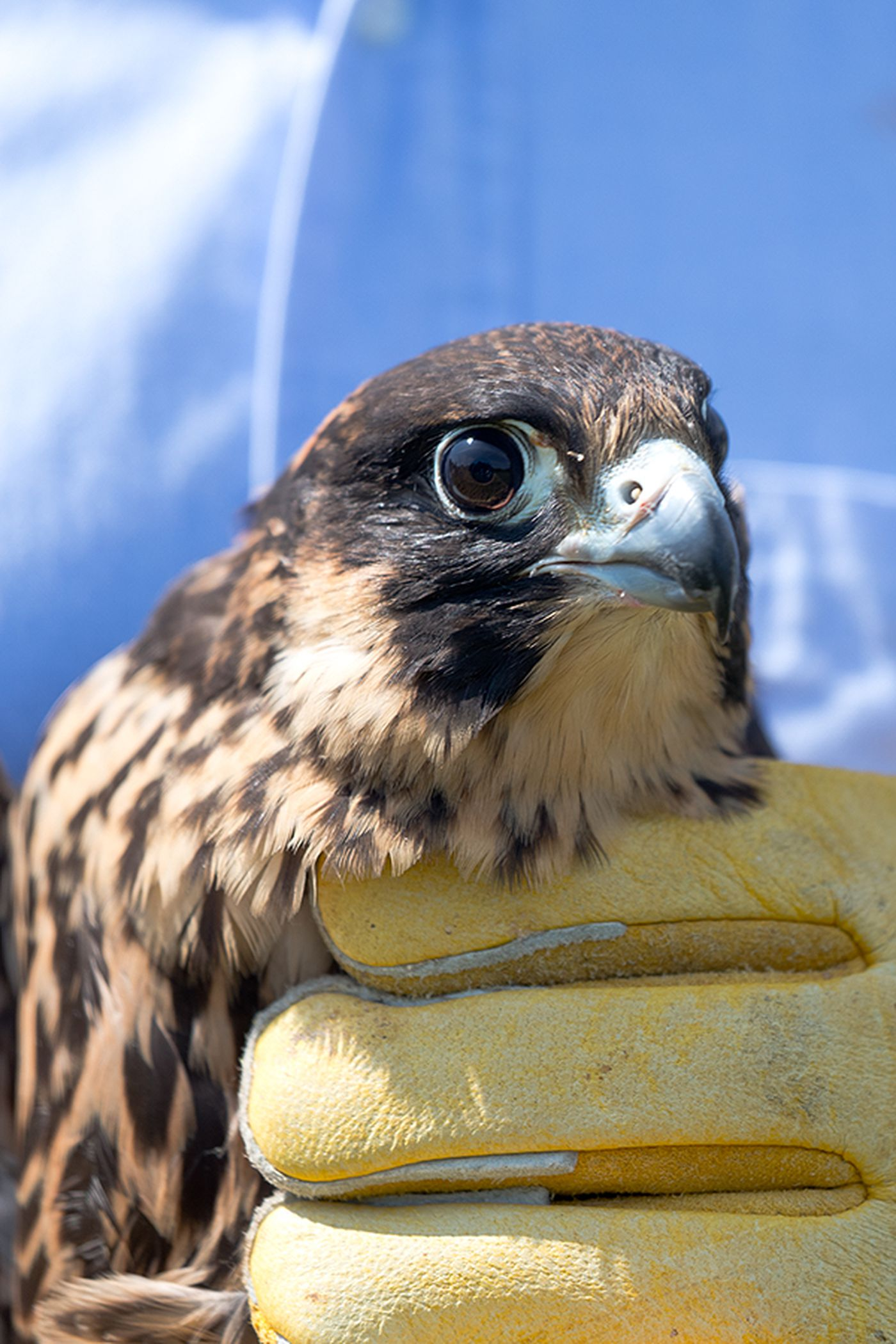 Peregrine falcon released into the wild in Hopewell