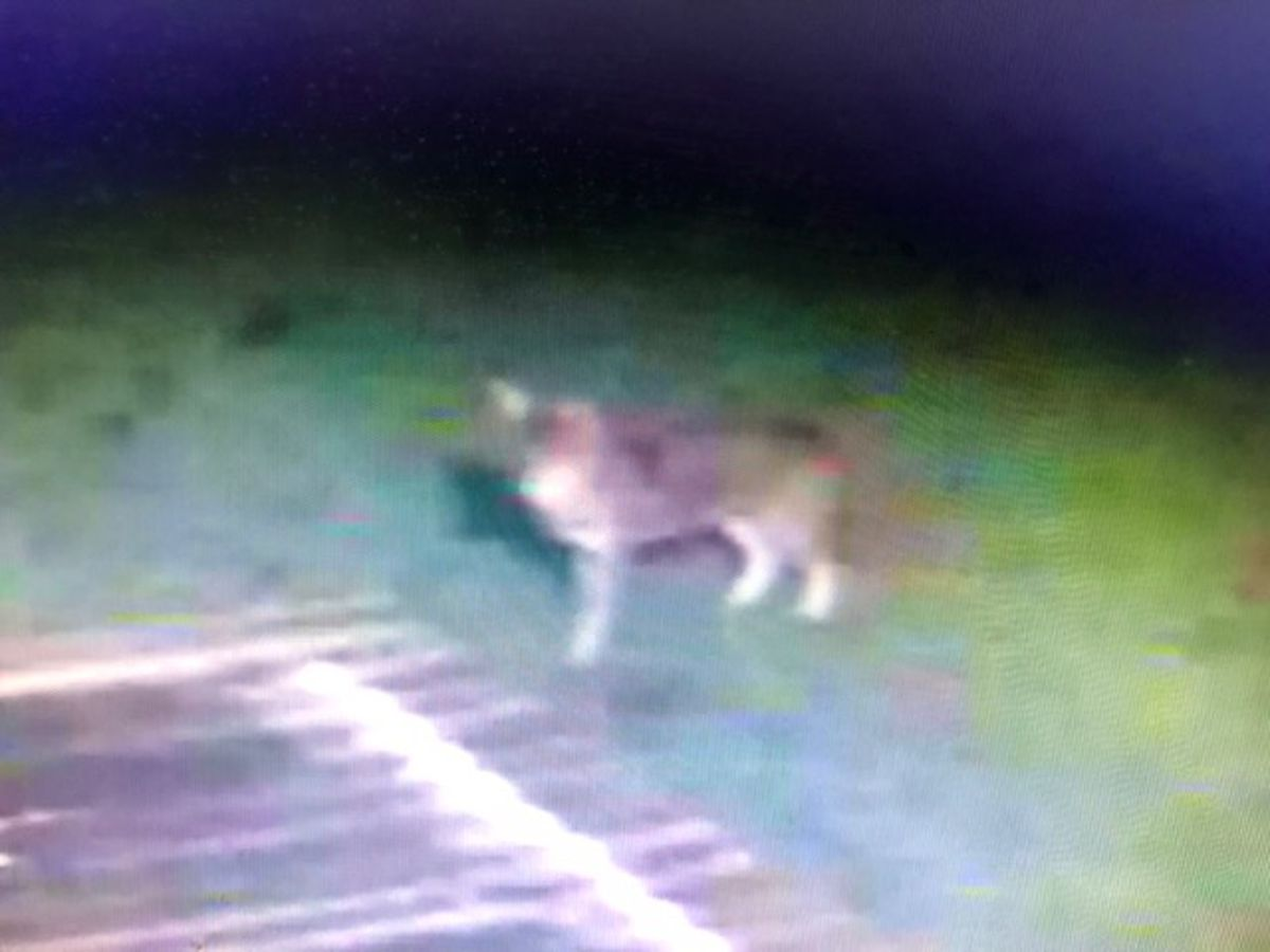 I walk in fear:' Neighbors believe coyotes to blame for