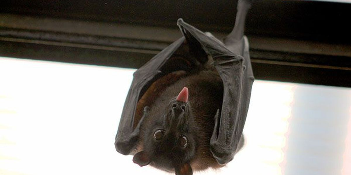 Dog exposed to rabid bat in Henrico County