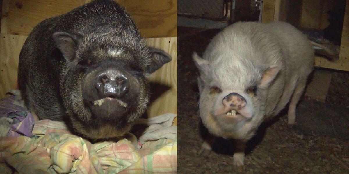 Chesterfield leaders forced to make decision in neighborhood battle over pigs
