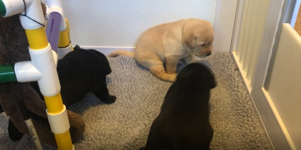 New puppies in Albemarle County begin their journey to become service dogs