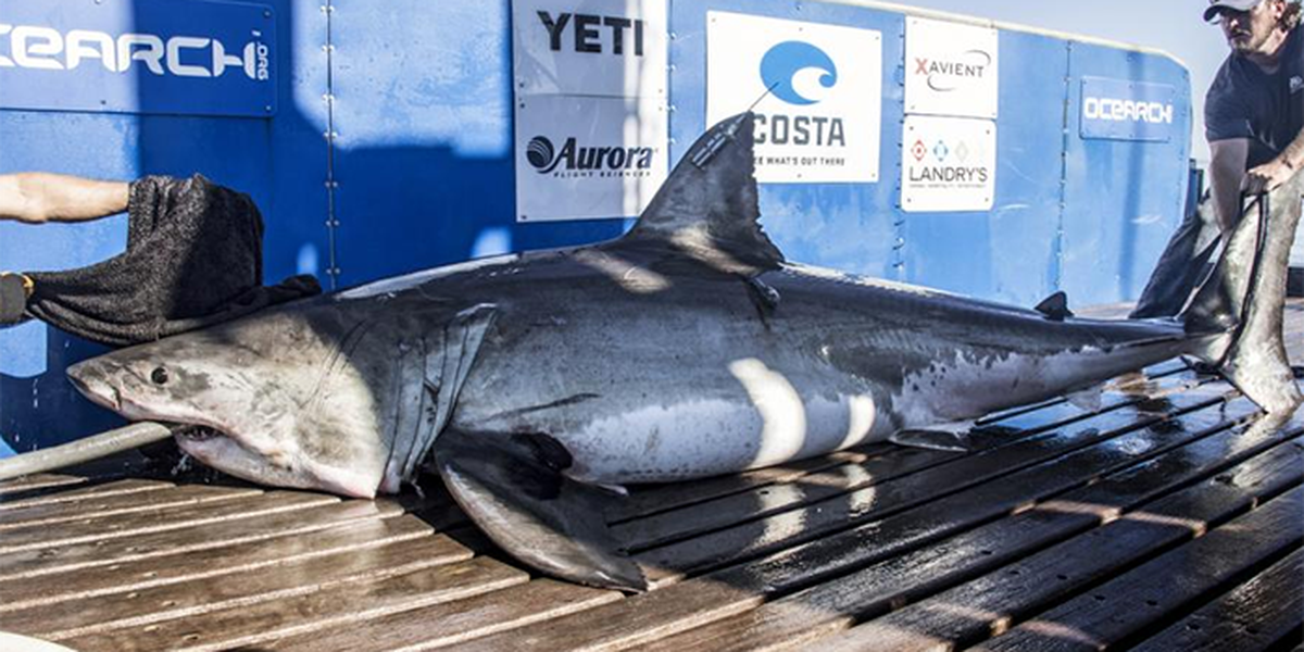 Possible pregnant 1,600-pound shark tracked off Virginia coast