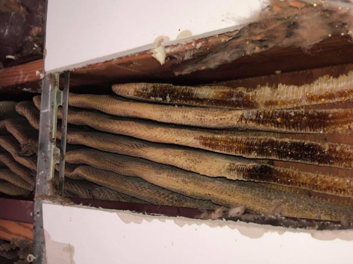 Beehive, 8-feet long, discovered in apartment ceiling