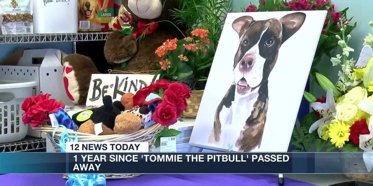 1 Year since Tommie the pitbull