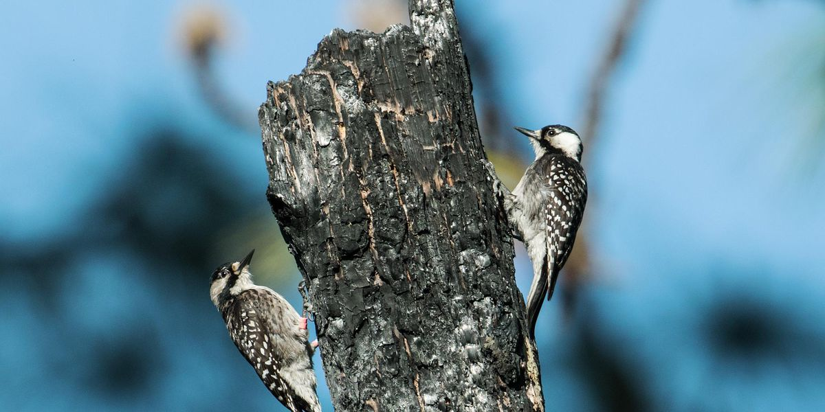 Endangered woodpeckers housed in Virginia wildlife management area