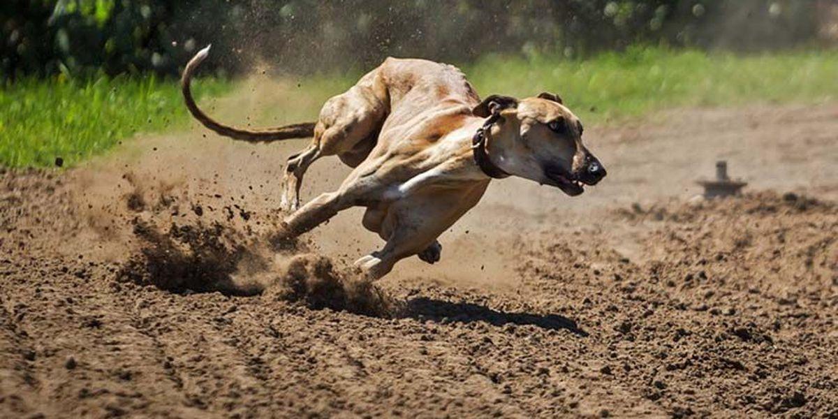 More Greyhounds may need homes if Florida bans racing