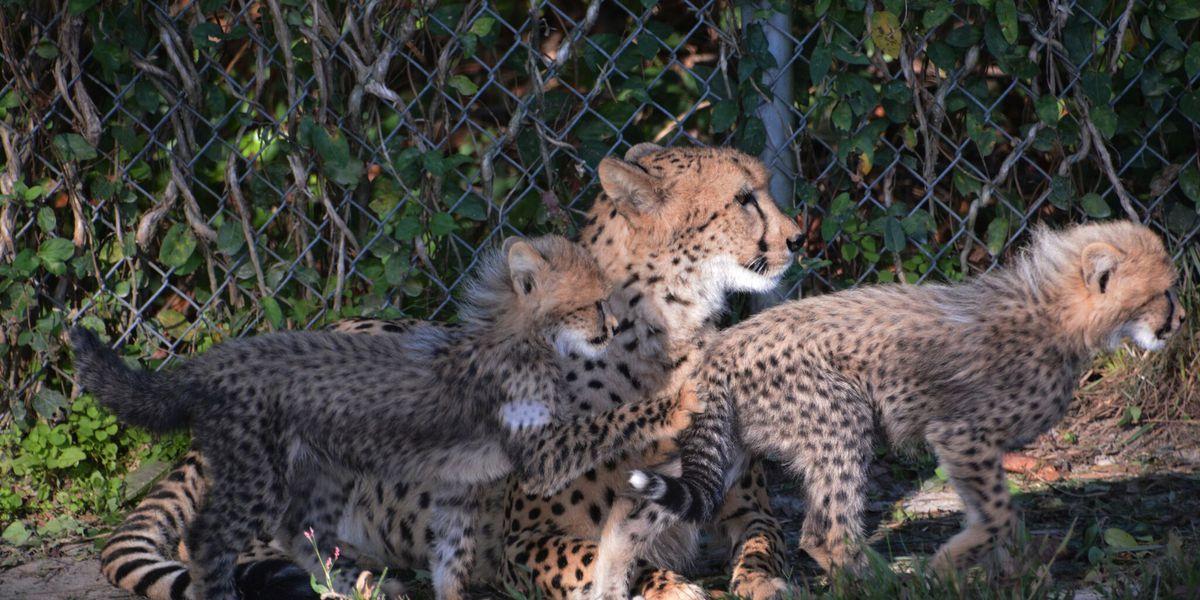 Four new cheetah cubs now on exhibit at Metro Richmond Zoo