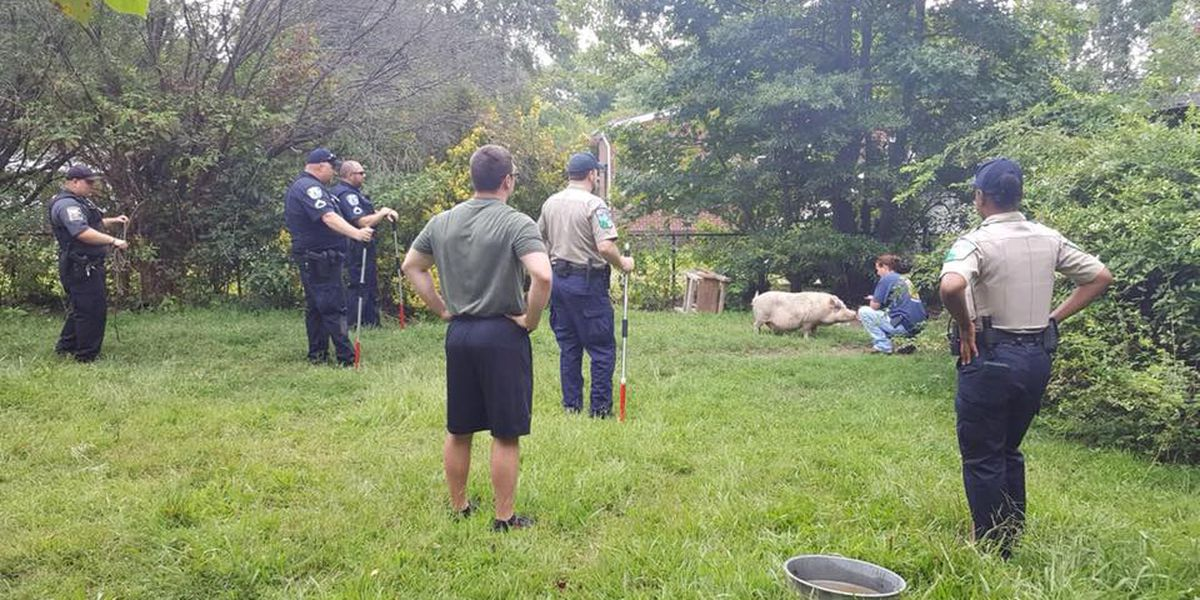 Two loose pigs wrangled in Richmond now adopted