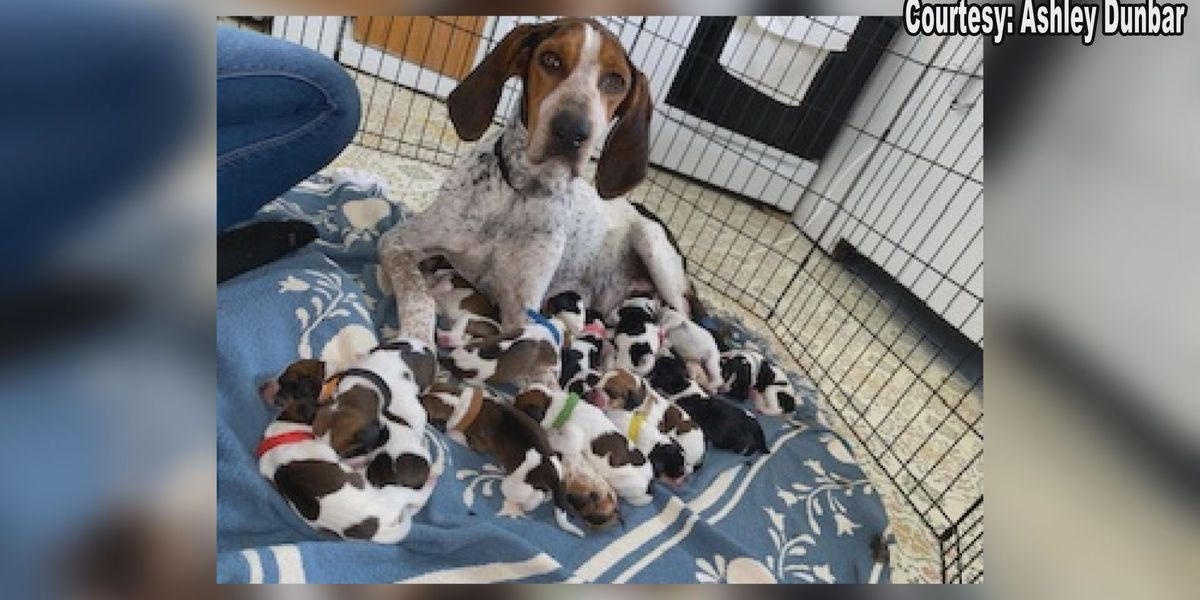 Foster dog gives birth to 16 puppies on election night