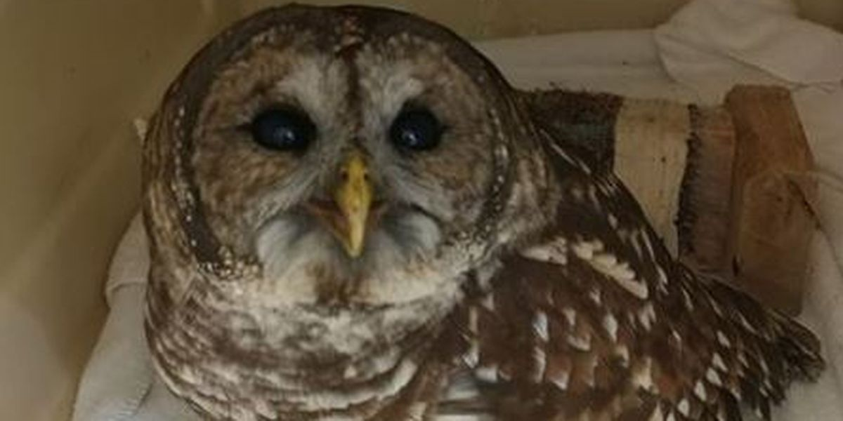 Owl recovering at Richmond Wildlife Center to be flight tested