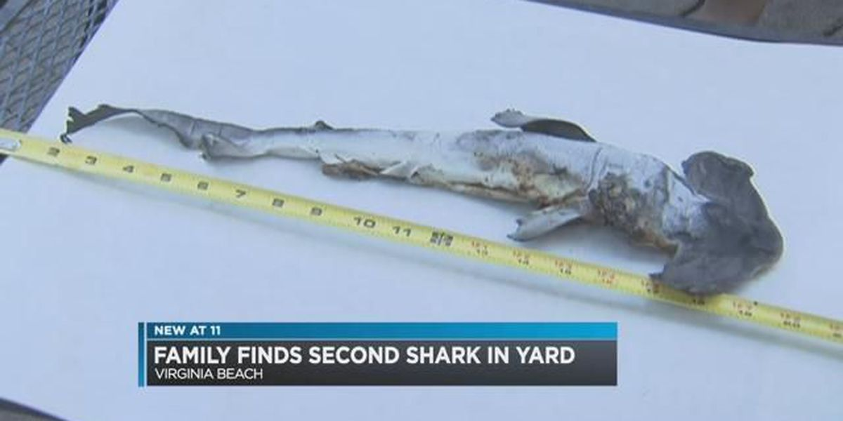 Family finds shark in their yard