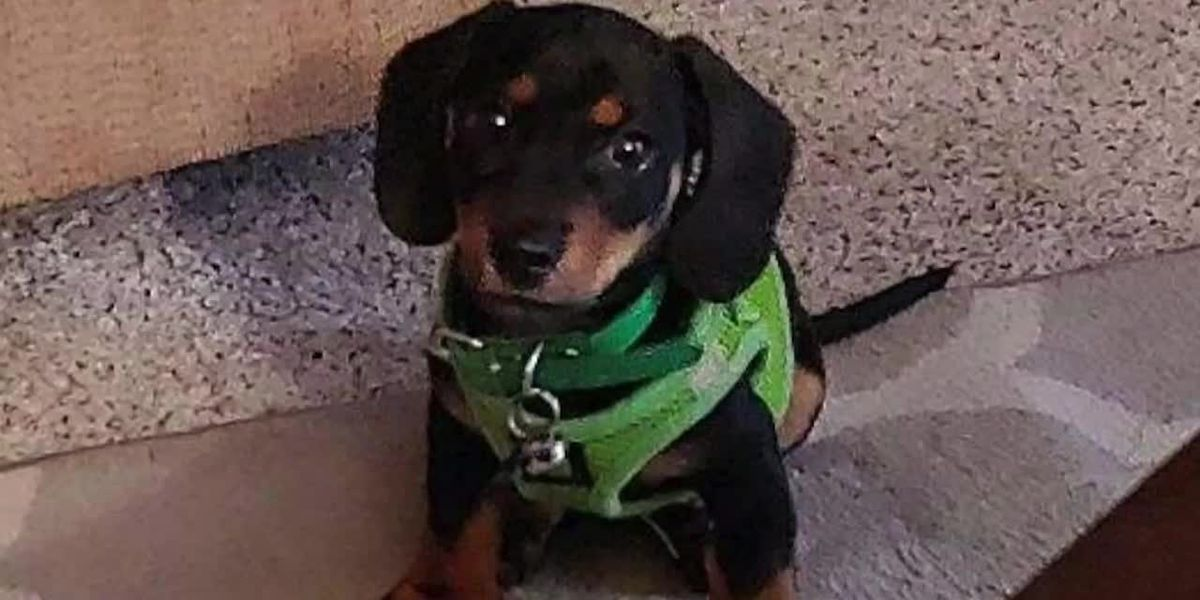 At least 2 Denver teens suspected of stealing puppy at gunpoint