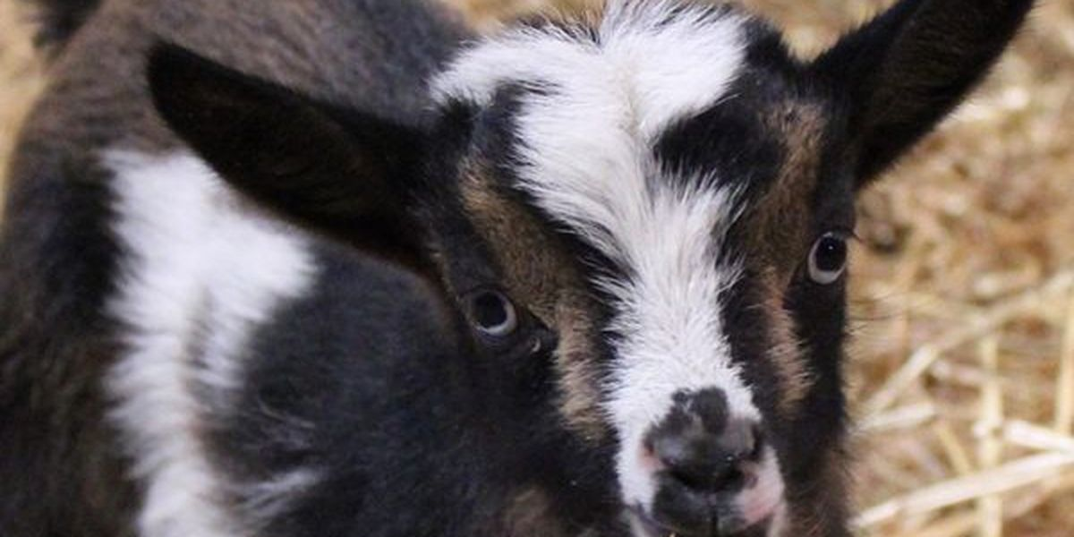 You could win cuddle time with Maymont's new baby goats