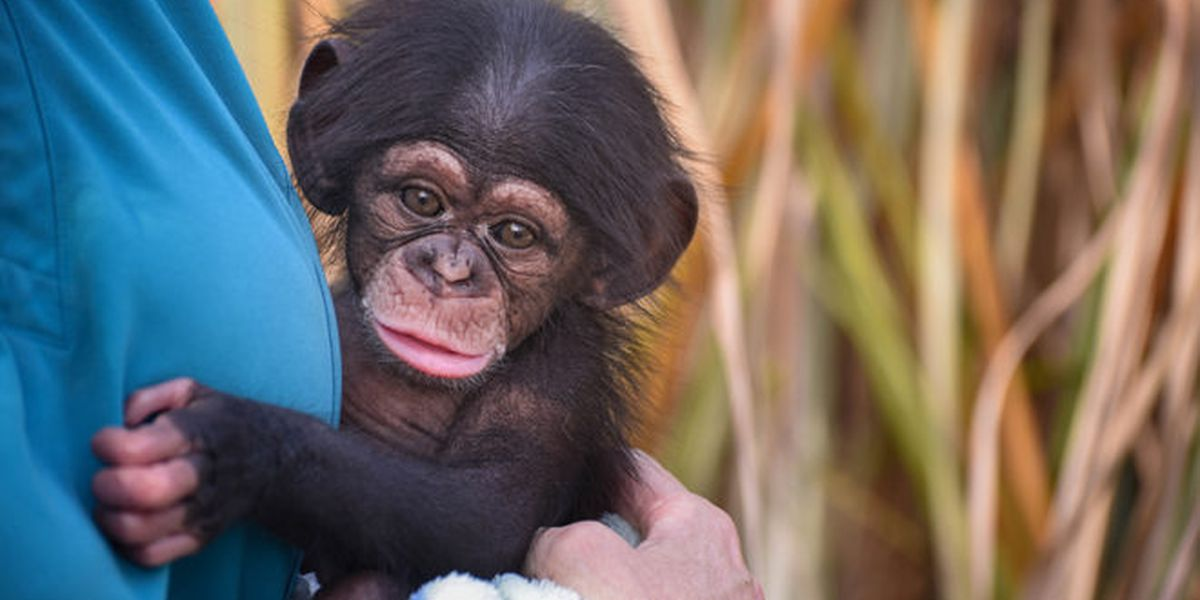 WATCH: Baby chimpanzee at Maryland Zoo in Baltimore laughs for the first time